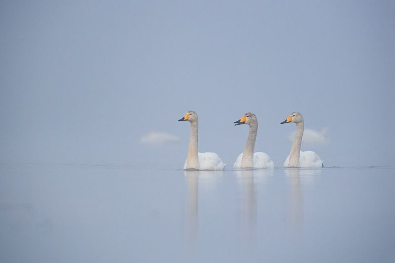 cygnus cygnus, whooper swan, ***photo preview
