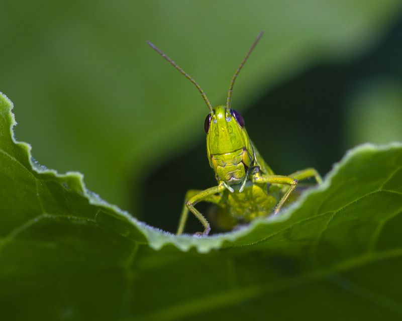 макро, природа, лето, насекомые, кузнечики, трава,растения Трибунphoto preview