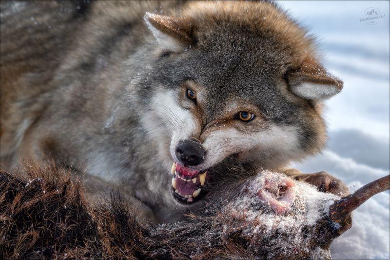 волк, wolf, красная шапочка, беларусь, красный бор, фототур в красный бор, фотоохота, canis lupus, red riding hood, серый волк, обыкновенный волк, евразийский волк, европейский волк Драки хочешь ..?photo preview