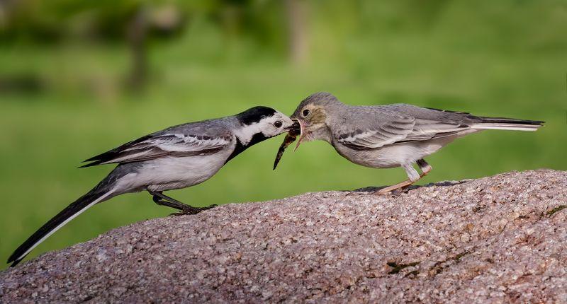птица, серая трясогузка, птенец, слёток, серая трясогузка с малышом..photo preview