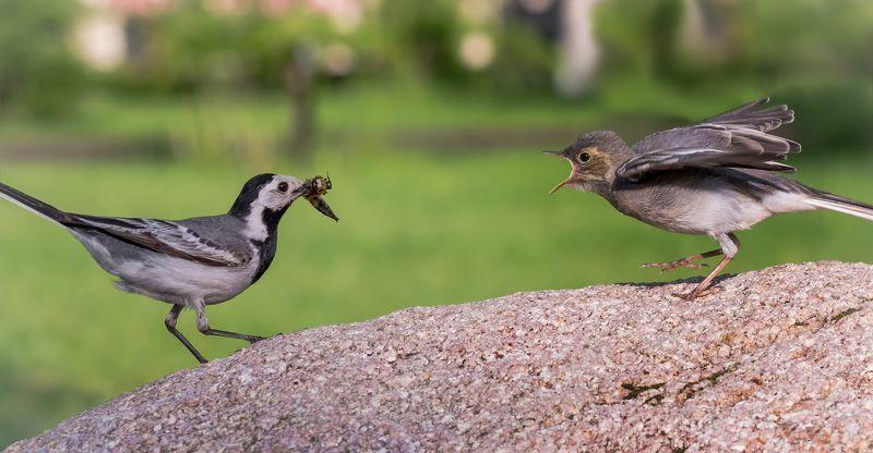 птица, серая трясогузка, птенец, слёток, белая трясогузка с малышом..photo preview