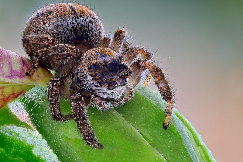 irass, waledzik, nat geo, olympus, close up, macro, extreme macro, spider, макро Evarcha arcuata.photo preview