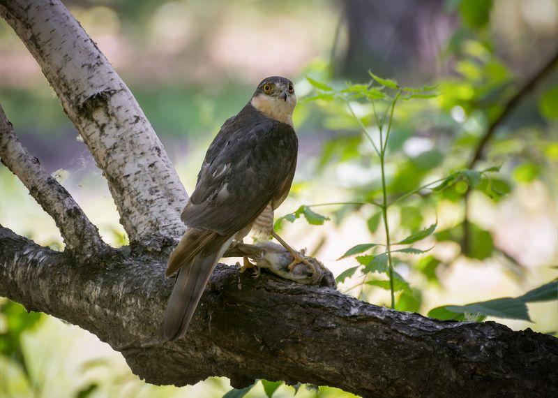 птица, ястреб перепелятник, охота, трофей, Охотник..photo preview
