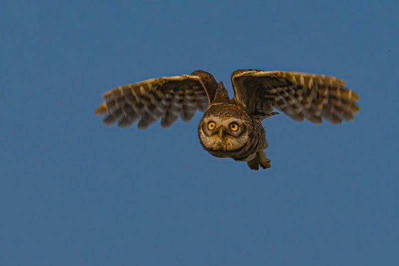 spotted, owl Let Me Fly...................!photo preview