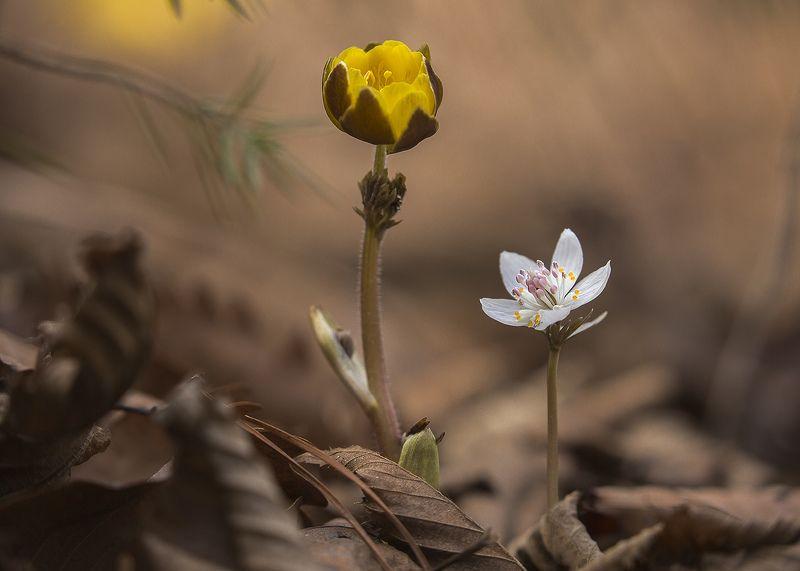 адонис весенник Весна фото превью