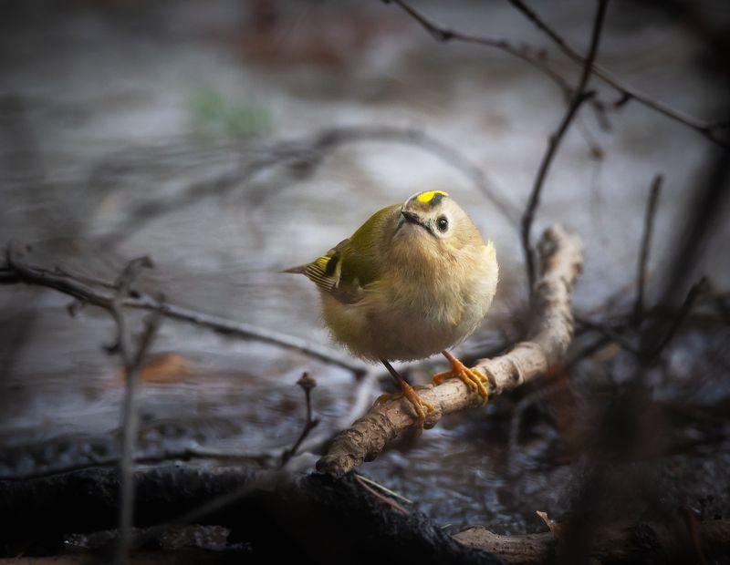 королёк, желтоголовый, птицы, фотоохота Желтоголовый королёкphoto preview