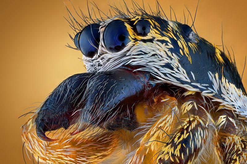 irass, waledzik, nat geo, olympus, close up, macro, extreme macro, макро Salticus scenicus.photo preview