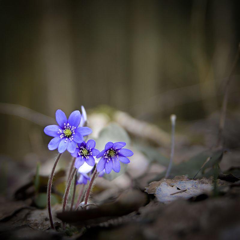 весна, сестрорецк, заповедник, заказник, красиво, цветы, натюрморт, питер Весна идёт.photo preview
