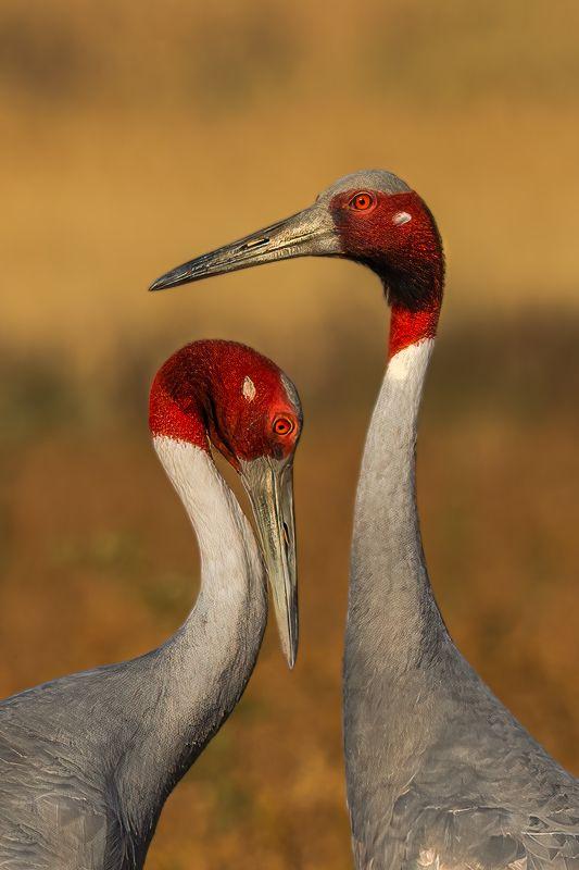 #BIRDS #INDIA #INDORE #SARASCRANE #CRANE #INDIANBIRDS #BIRDSOFINDIA LIVING TOGETHER photo preview