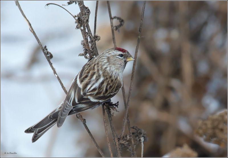 птица,чечётка,самка,красноголовая Красноголоваяphoto preview