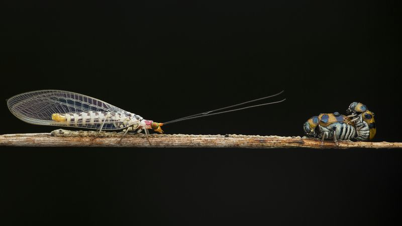 #macro#colors#mating#lacewing#bettle Don\'t Worry About Me, Just Enjoy Yourself!photo preview