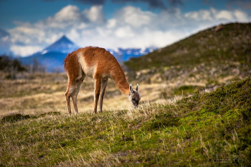 Patagonian Guanacophoto preview