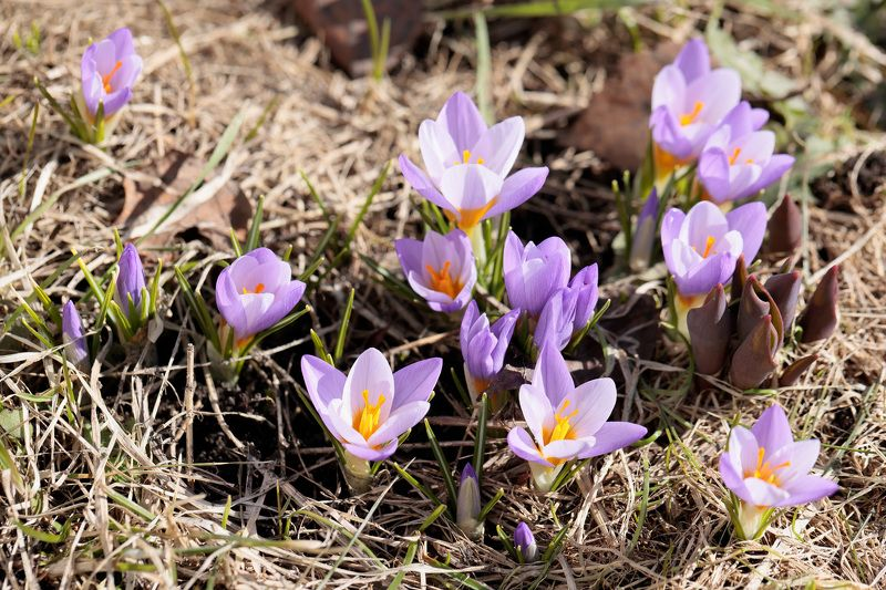 крокусы, весна, природа Крокусыphoto preview