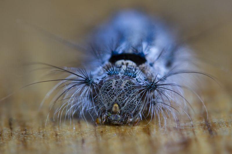 природа, макро, насекомые, гусеницы Инопланетянкаphoto preview