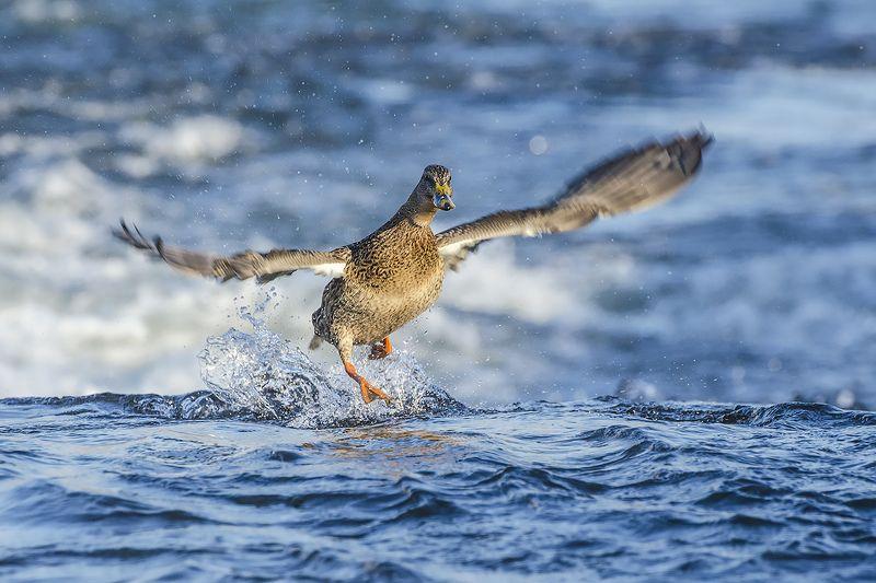 птица, утка, кряква На гребне волныphoto preview