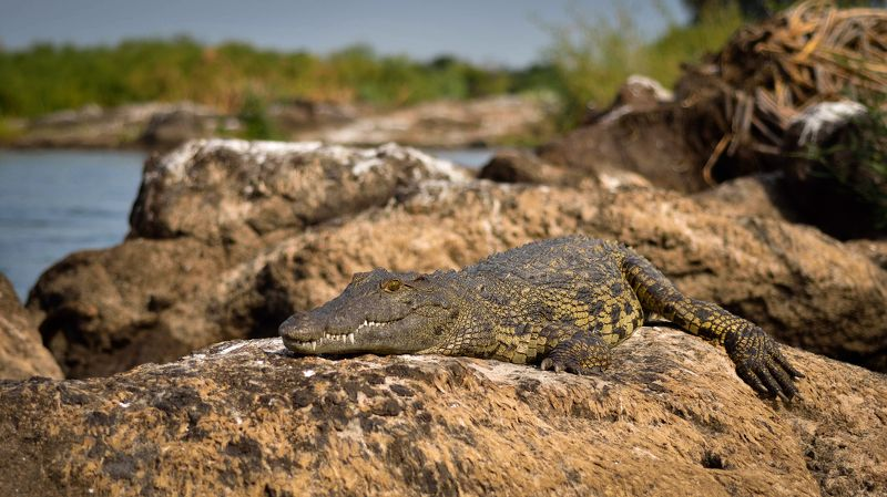 крокодил, нильский крокодил, африка, зимбабве, замбия, ботсвана, рыбалка, замбези, река, животные, wildife, wildife photograpy, africa, safari, nikon, nikon russia, crocodile, croc, fishing Хозяин Замбези.photo preview