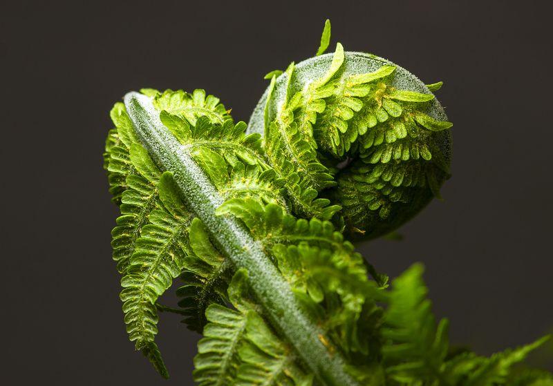 макро, растения. папоротник, нежность,природа Нежностьphoto preview