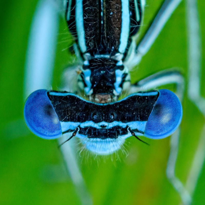 damselfly, insect, macro, nature, dragonfly,eyes Damselfly\'s eyesphoto preview