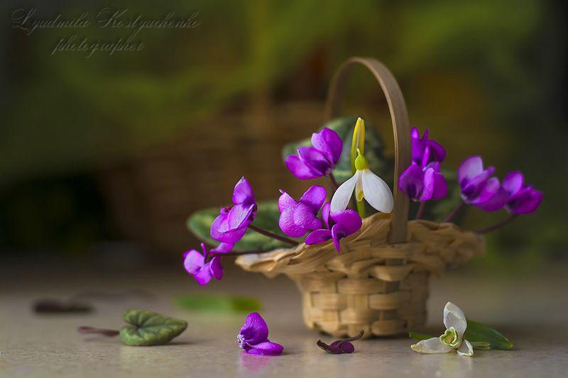 художественное фото,натюрморт,букет с цветами,цикламены. Цикламены из моего сада.photo preview