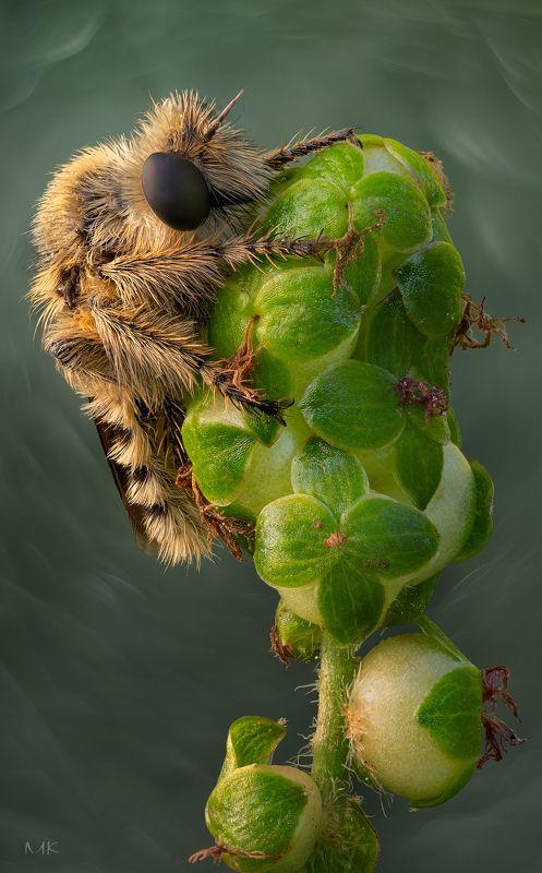 ктырь, robber fly, asilidae Мохнатый разбойникphoto preview