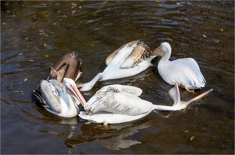 пеликаны Круговоротphoto preview