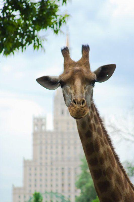 жираф, высотка Городские джунглиphoto preview