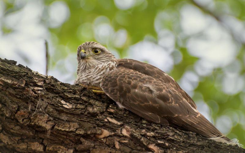 птица, ястреб, перепелятник, слёток, Отдых..photo preview