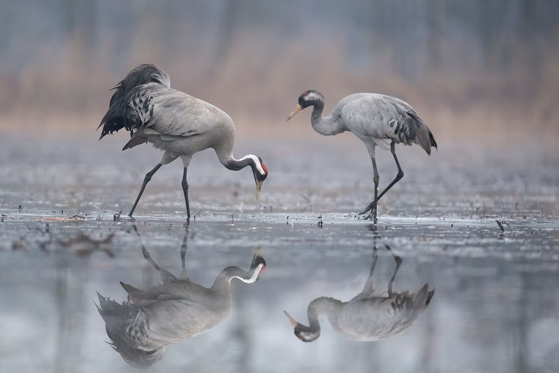 серый журавль, grus grus, crane, żuraw ***photo preview