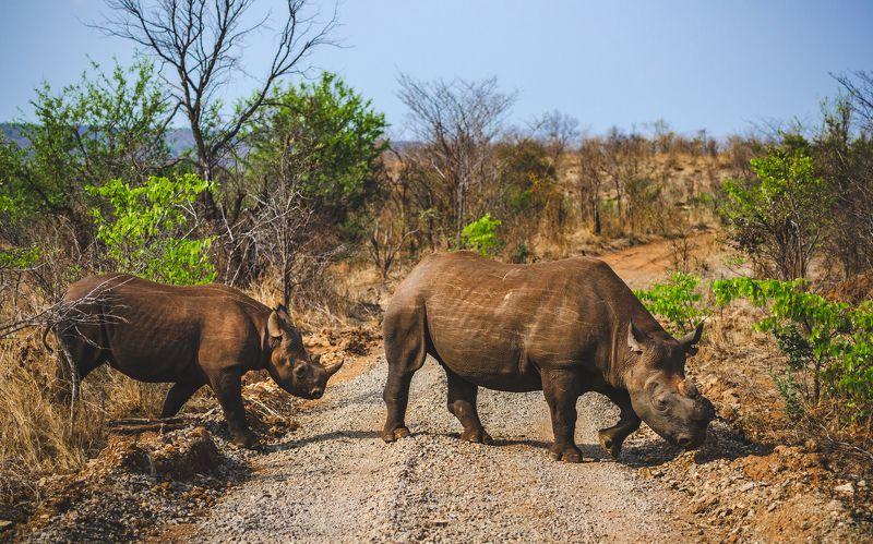 африка, носорог черный, носорог, зимбабве, замбия, юар, красная книга, животные, дикий животный мир, africa, wildlife, wildlife photography, animals Последние из вымирающего племени.photo preview