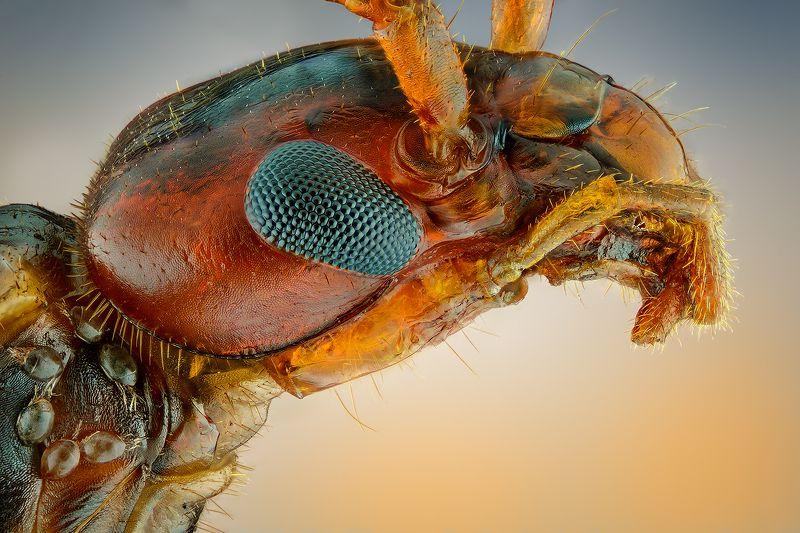 irass, waledzik, nat geo, olympus, close up, macro, extreme macro, макро Forficula auricularia.photo preview