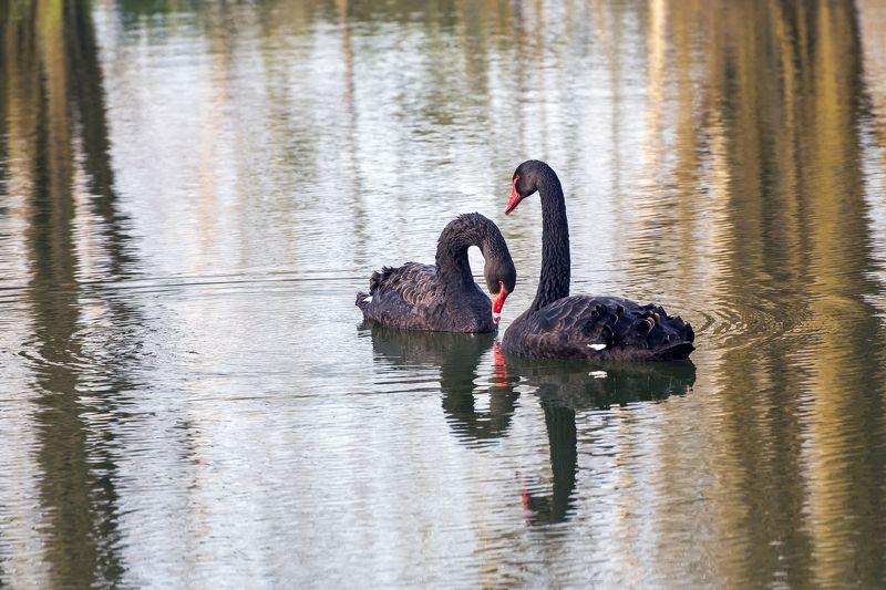 черные, лебеди Двое. Идиллияphoto preview
