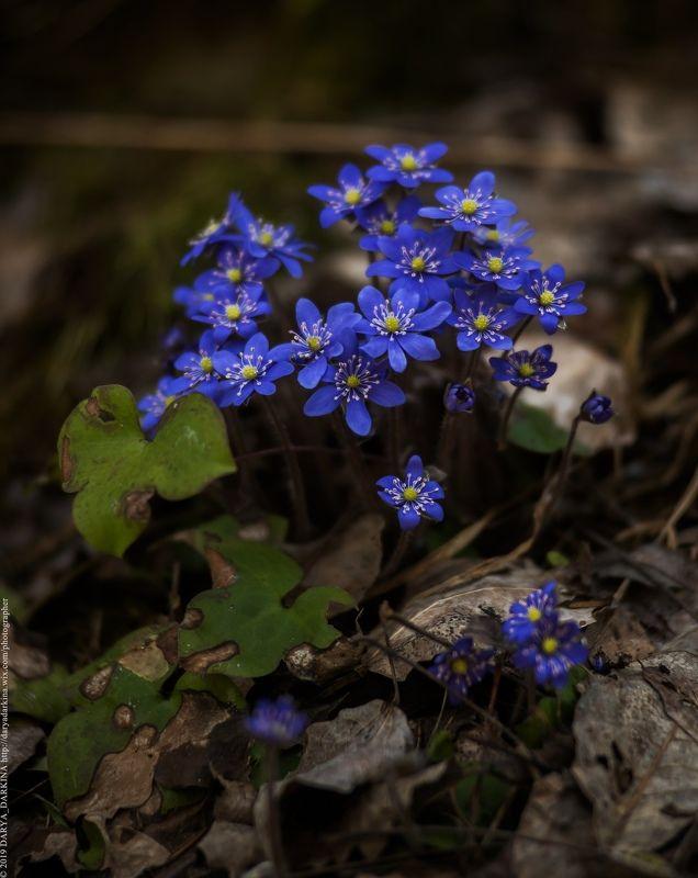 весна, цветы, печеночница, карелия, природа, путешествие, nature, travel, karelia Печеночница.photo preview