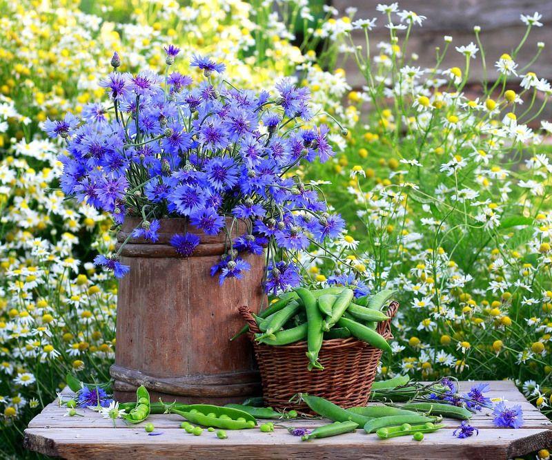 натюрморт, фотонатюрморт, лето, цветы, ромашки, васильки,  наталья казанцева Лето васильковое!photo preview
