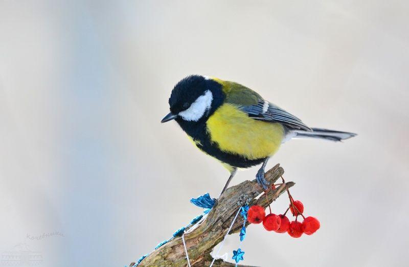 птицы, большая синица, birdwatching, дикая природа, birds, wildlife Большая синицаphoto preview