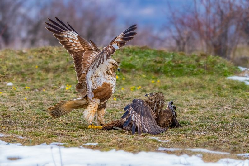 Битка между северен(Buteo lagopus) и обикновен(Buteo buteo) мишелов...photo preview