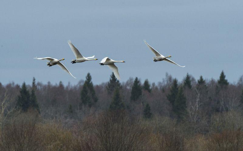 Лебедь Кликун.photo preview