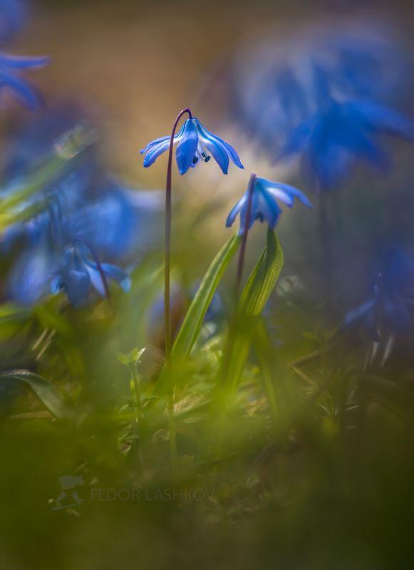 ставропольский край, цветы, природа, флора, пролеска сибирская, цветок, первоцветы, в лесу, весна, синий Акварельные пролескиphoto preview