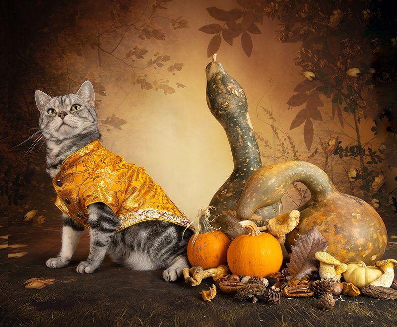 кошка, котенок, сats, домашнии любимцы,натюркотики, осень,autumn, тыквы, pumkin, американский короткошерстный кот, american shorthair cat Маркиз и Тыквыphoto preview