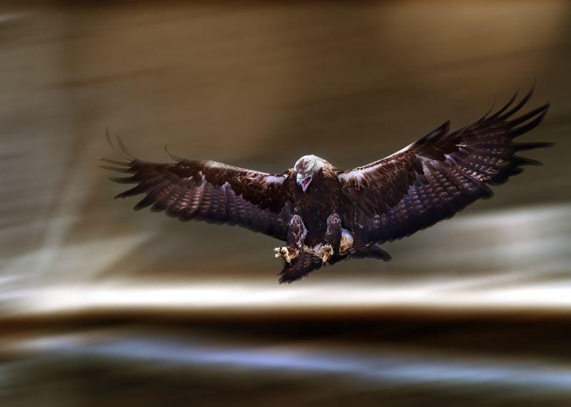 орел могильник Орел могильникphoto preview