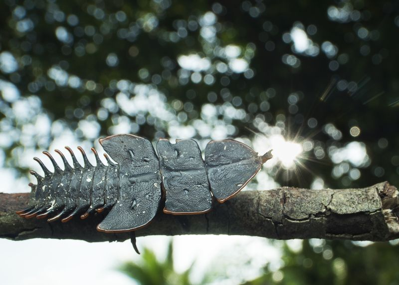 Trilobite Bettle Kissing With Sun.photo preview