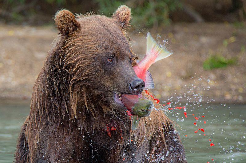 Камчатка, медведь, животные, природа, путешествие, фототур, икра, Завтрак по-Камчатскиphoto preview