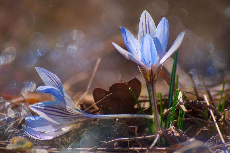 цветы, весенние, крокусы,макро Двоеphoto preview