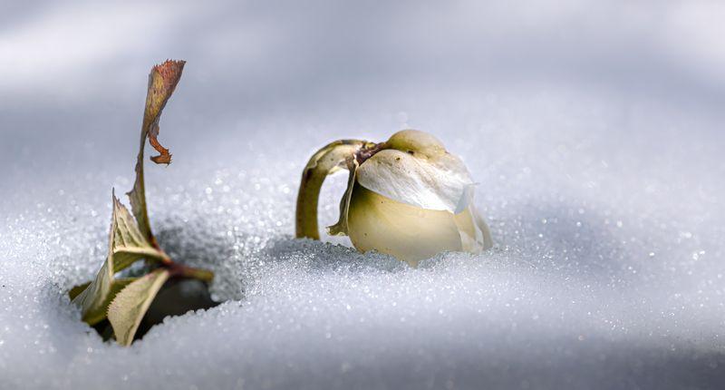 природа, макро, цветы, морозник, снег Пробилисьphoto preview