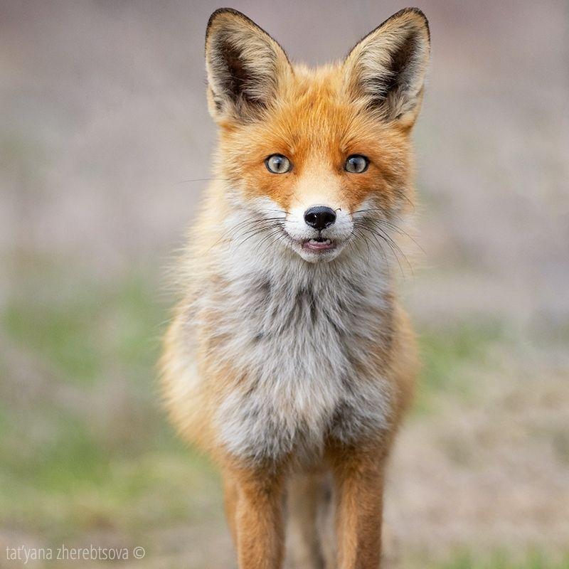 fox, my-mriya, mymriya, wildlife, Лисаphoto preview