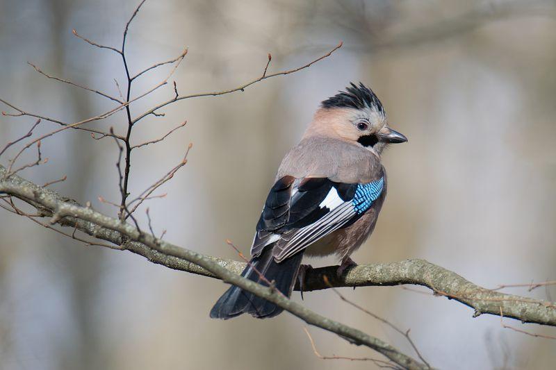 птицы,сойка,россия Лесной панкphoto preview