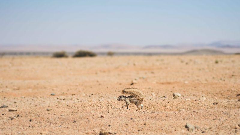 африка, намибия, животные, белка, пустынная белка, пустыня намиб, зимбабве, wildlife, wildlife photography, africa Пустынная белка.photo preview