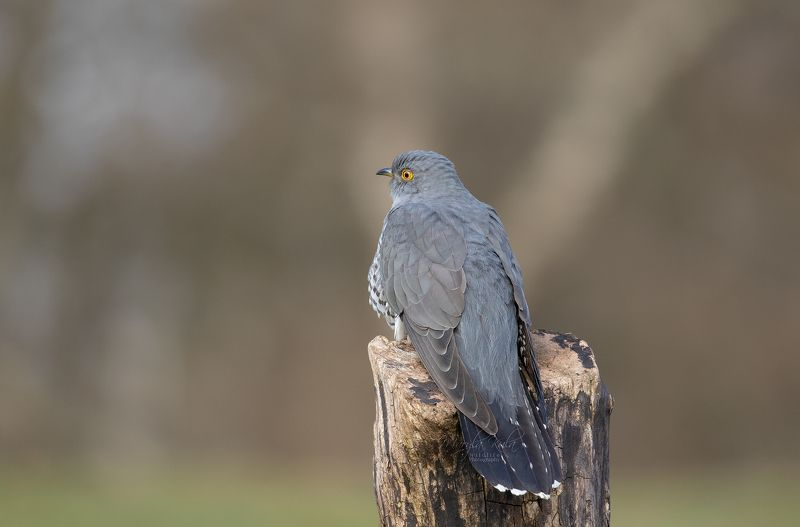 cuckoo, birds, animals, nature, wildlife, canon, canon 100-400 Welcome backphoto preview