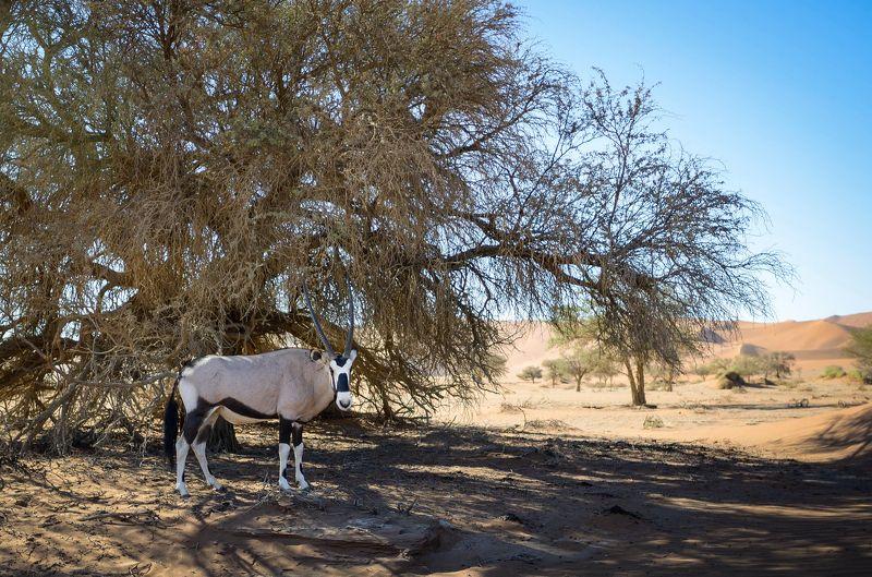 орикс, антилопа орикс, намибия, пустыня намиб, африка, desert, desert namib, namibia, africa, wildlife, wildlife photography Орикс.photo preview