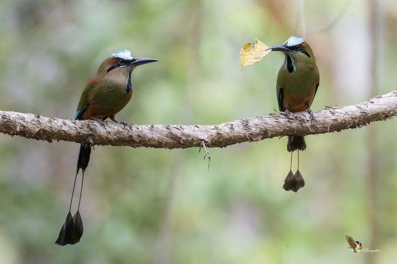 Turquoise-browed Motmotphoto preview