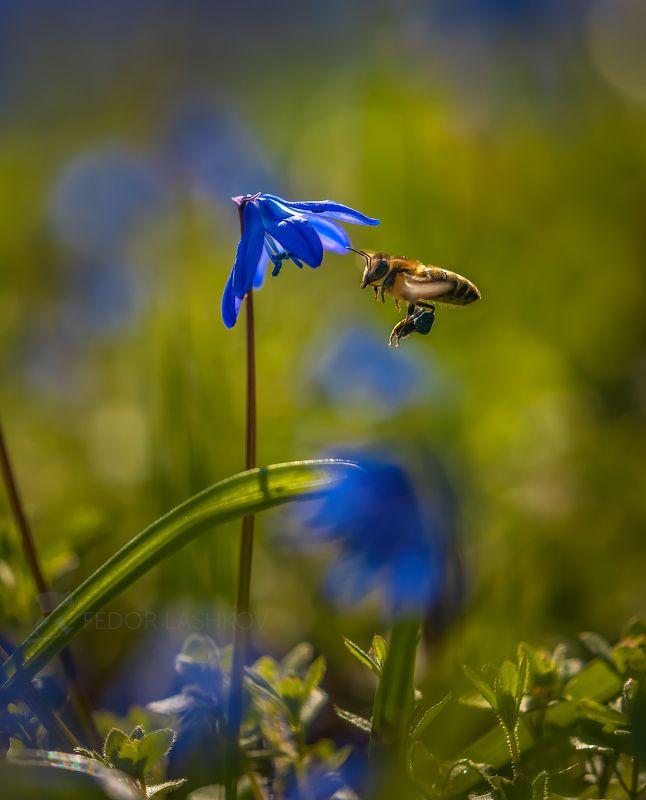 ставропольский край, цветы, природа, флора, пролеска сибирская, цветок, первоцветы, в лесу, весна, синий, пчела, пчёлы, насекомые, мёд, пыльца, Пчёлы за работойphoto preview